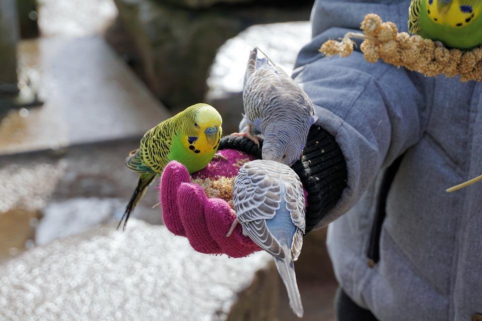 Budgie, Vogel, Dierlijke, Bill, Voedsel, Dierenwereld
