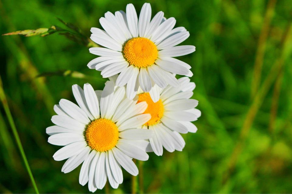 Aster Bunga Daisy Foto Gratis Di Pixabay