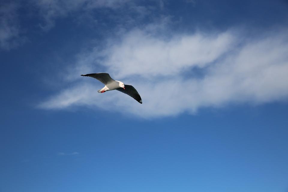 Free photo: Seabirds, Bird, Blue Sky - Free Image on Pixabay - 1202745
