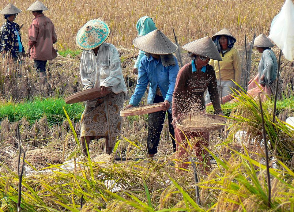 workers sift and plant rice