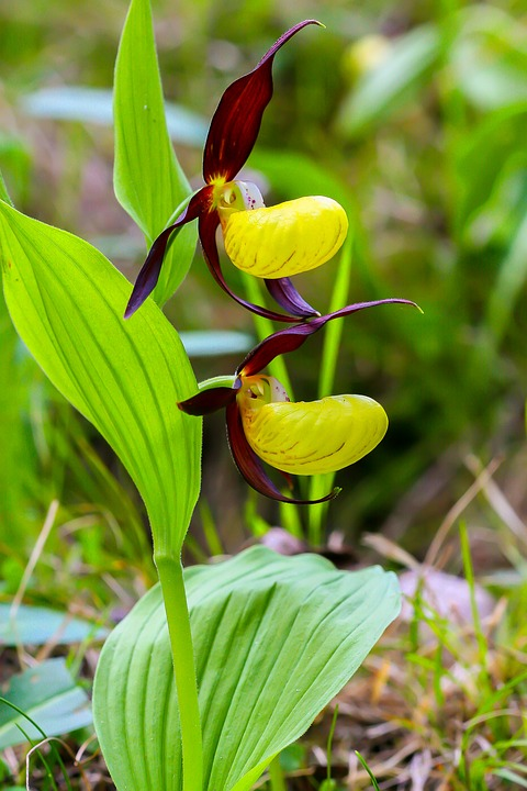 orchidee venus
