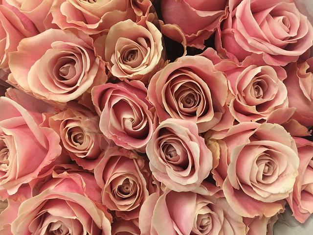 rose blume blumen rosa kostenloses foto auf pixabay. Black Bedroom Furniture Sets. Home Design Ideas