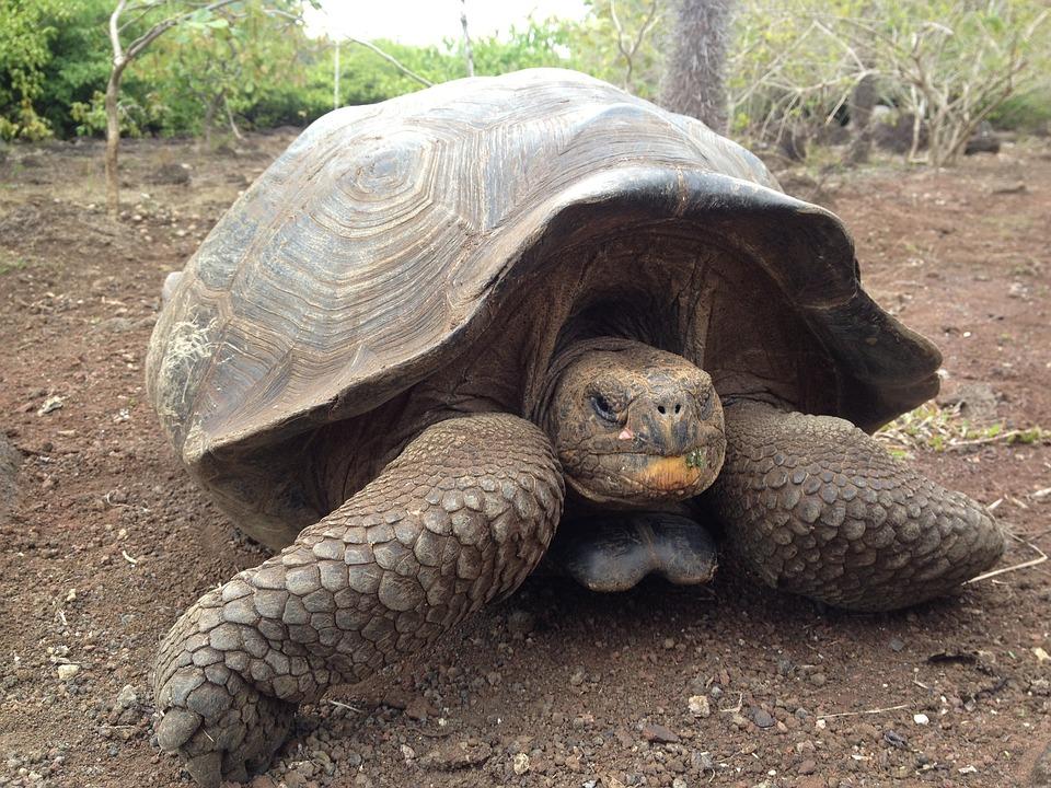 Galapagos Kilpikonna
