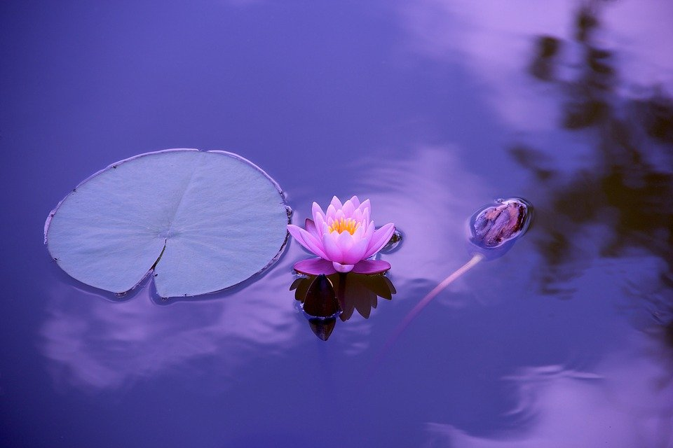 Lotus, Natural, Water, Meditation, Zen, Spirituality