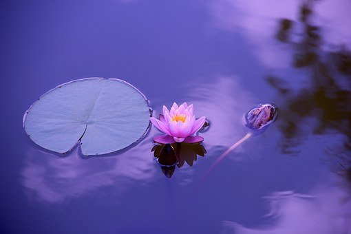 Lotus, Natural, Water, Meditation, Zen