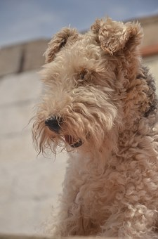 Airedale Terrier Feeding and Grooming Requirements