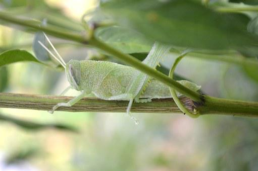 Cricket, Nature, Grasshopper, Insect