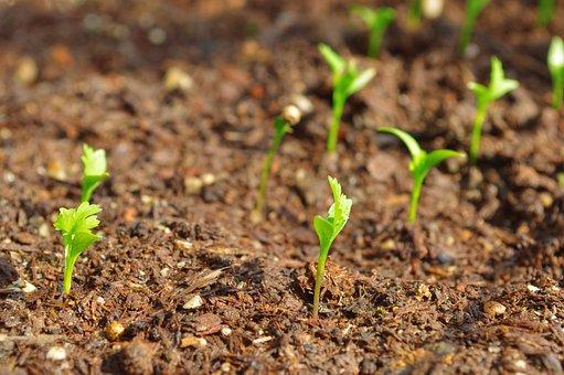 Plants, Coriander, Food, Cilantro, Spice