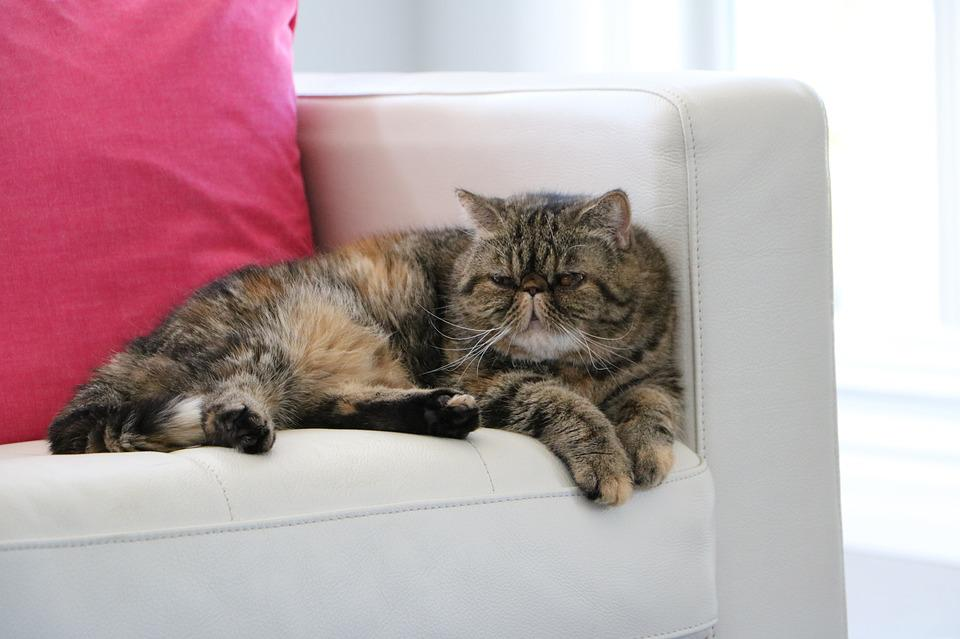 Cat, Exotic Shorthair, Couch, Tabby, Pet, Spca
