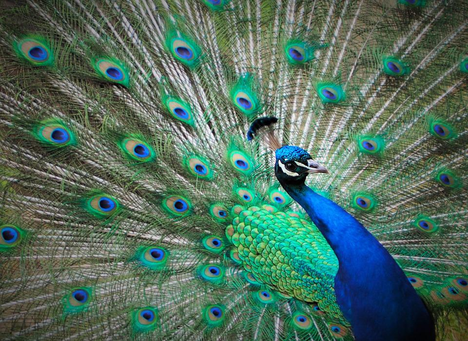 Peacock Tail Feathers In Green And Blue Stock Photo - Image: 11138770