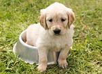 szczeniak, złoty pies myśliwski, pies