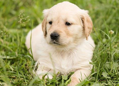 Golden Retriever Puppies For Sale in Michigan