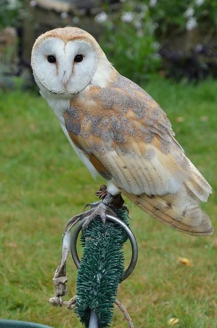 Free photo barn owl owl bird falconry free image on for Food bar owl