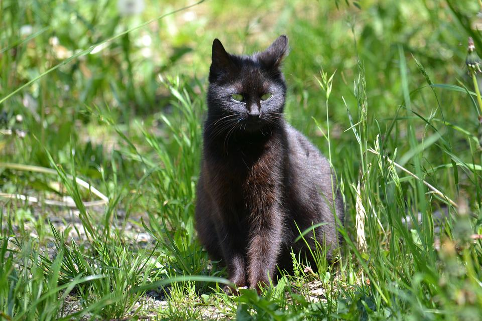 Cat, Black, Sun, Meadow