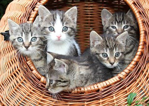 Cat, Kitten In A Basket, Babies, Animals