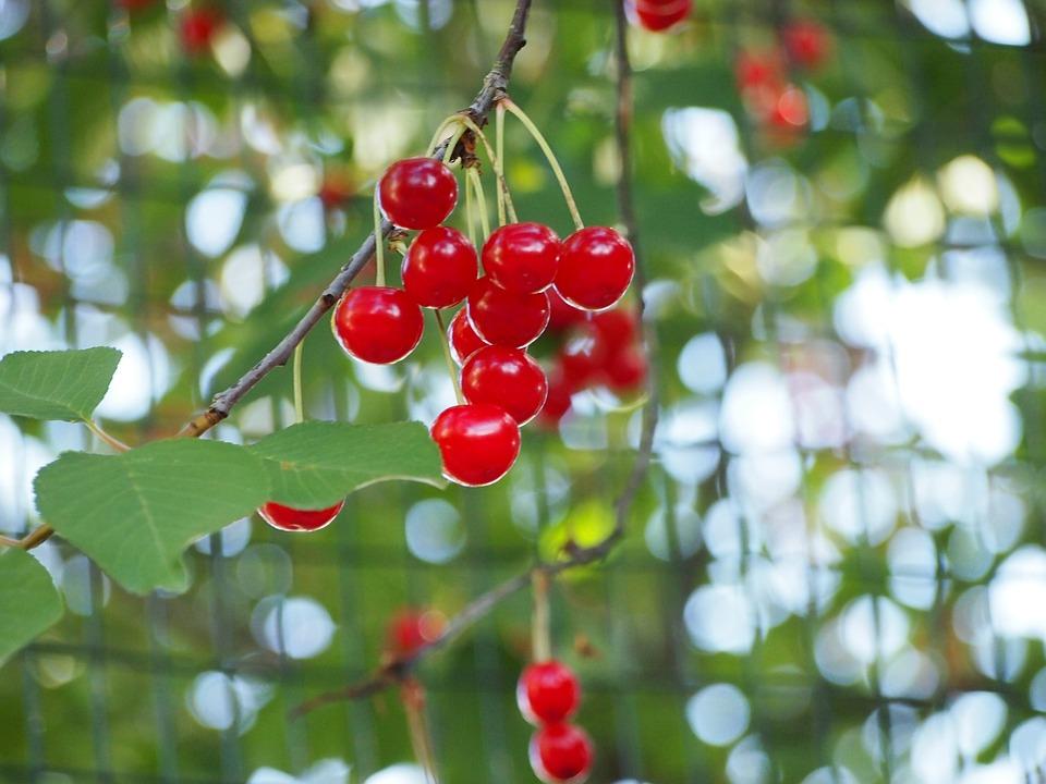红色, 樱桃, 水果, 食品, 性质, 树, 红色水果, 授粉, 花, 春, 春天的