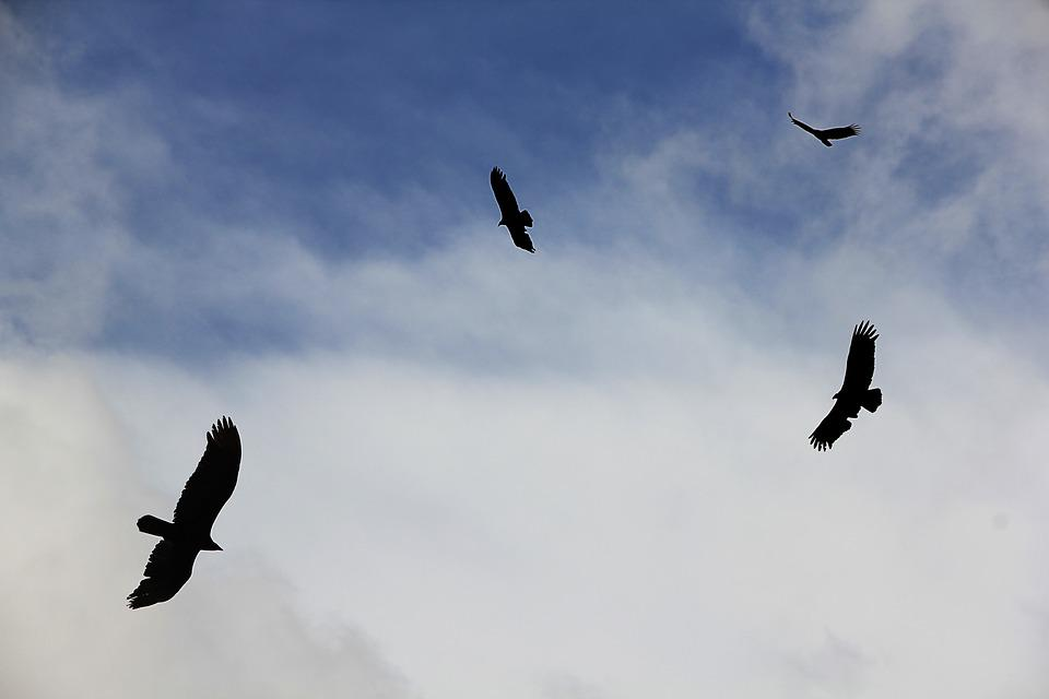 Vultures flying in a blue sky