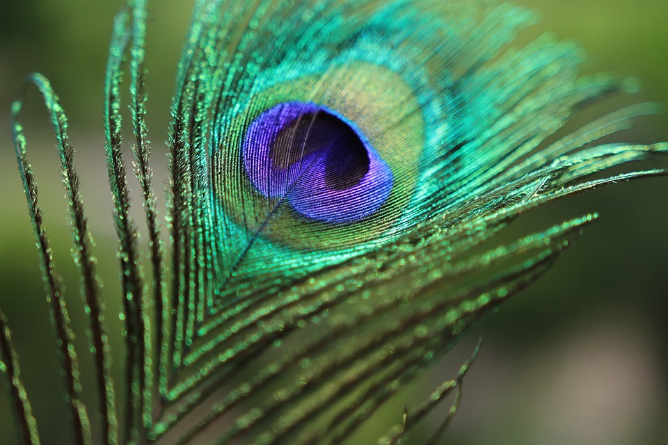 Peacock bird feather