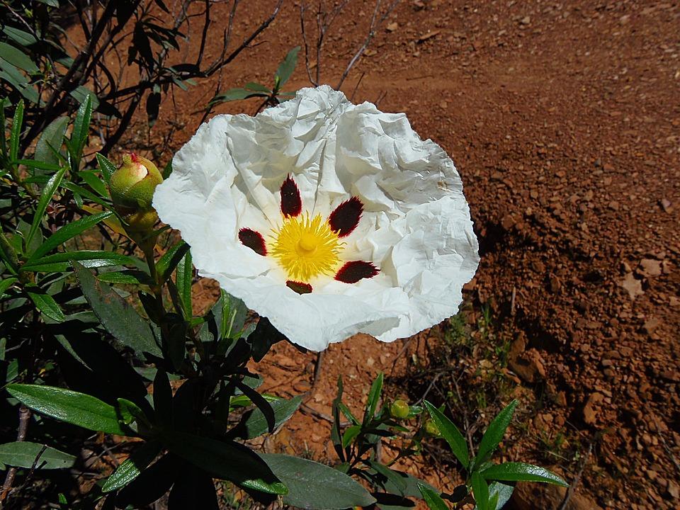 Flor Jara Arbusto · Foto gratis en Pixabay
