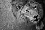 lion, ferocious