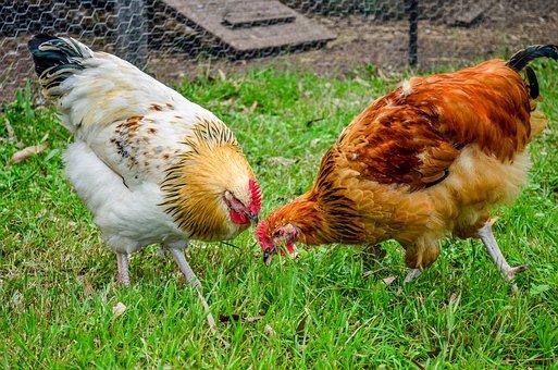Chicken, Feather, Bird, Farm, Poultry