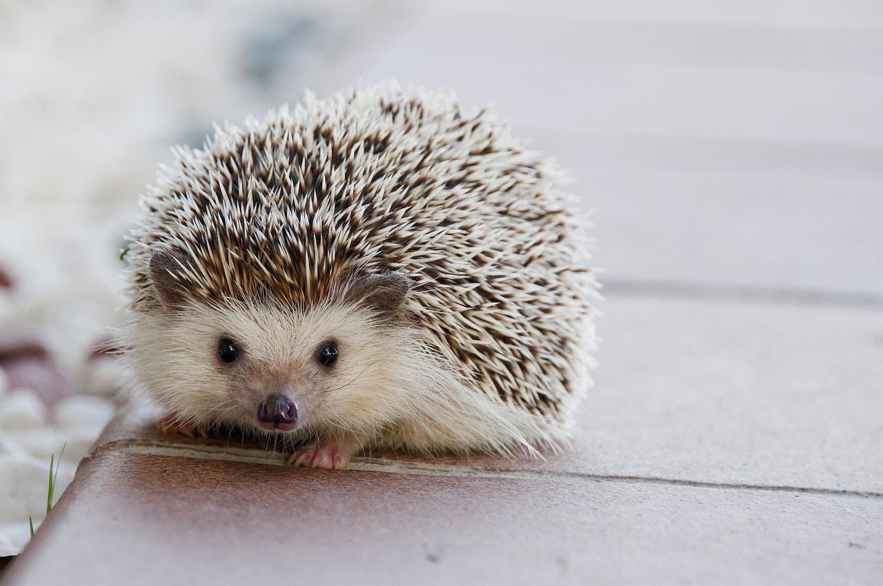 A hedgehog's heart beats 300 times a minute on average.