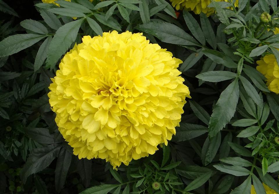 Marigold flower yellow free photo on pixabay marigold flower yellow genda jhenduphool mightylinksfo