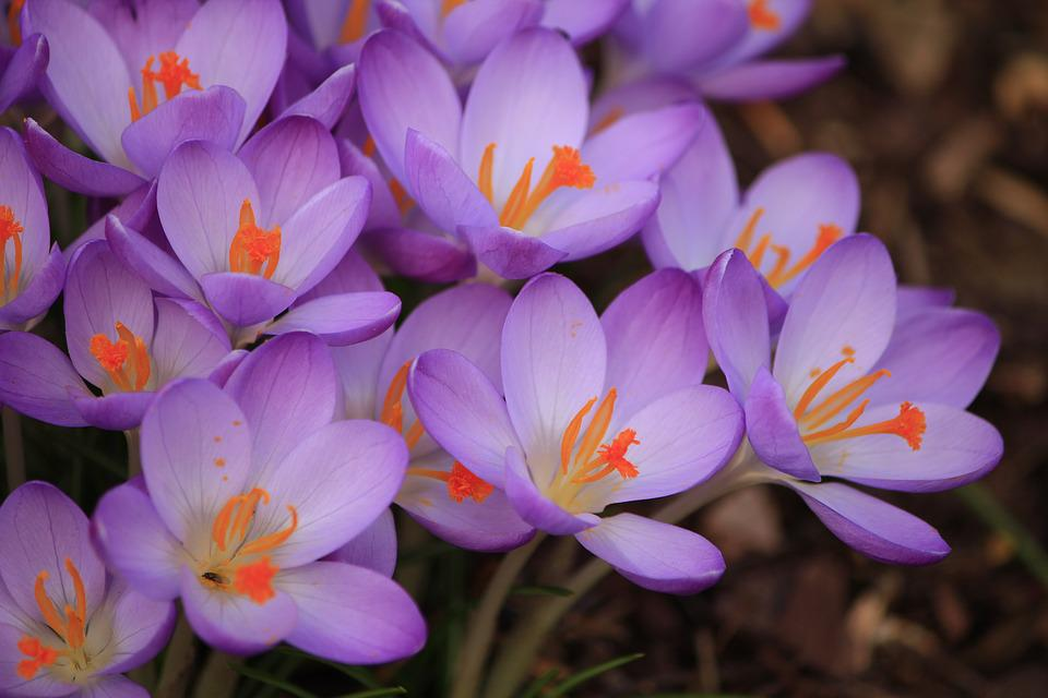 free photo purple flower, crocus, spring  free image on pixabay, Beautiful flower