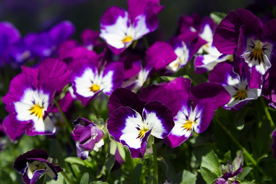 Fruhbluher Lila Weisse Kostenloses Foto Auf Pixabay