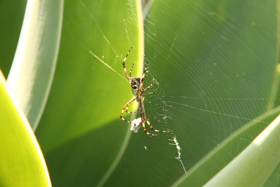 蜘蛛, web, 蛛网, 蜘蛛恐惧, 蛛形纲动物, 昆虫, bug, 性质, 陷阱, 常