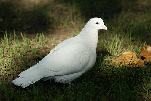 Dove, Bird, Hope, Spirituality, Religion