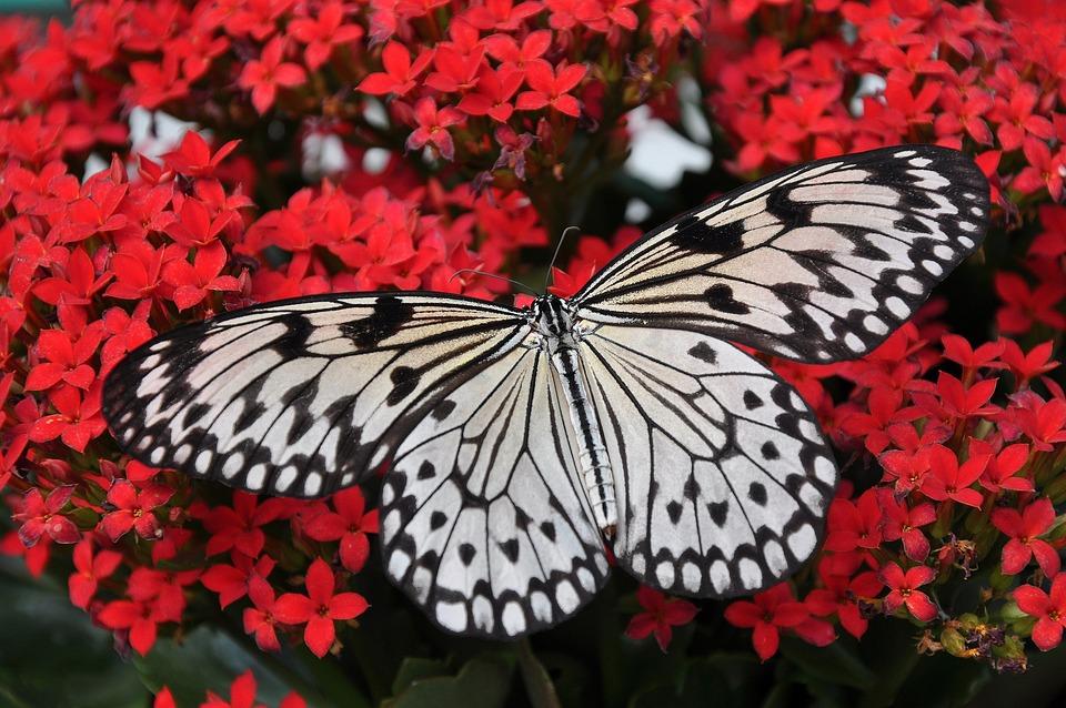 Papillon, Insectes, Ailes, Fleurs, Fleurs Rouges