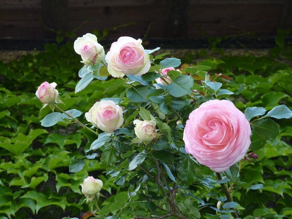 rosen busch rosa kostenloses foto auf pixabay. Black Bedroom Furniture Sets. Home Design Ideas