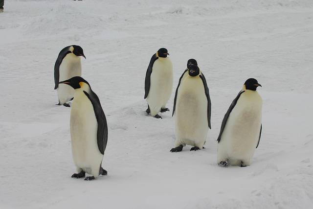 Emperor Penguins Antarctica Free Photo On Pixabay