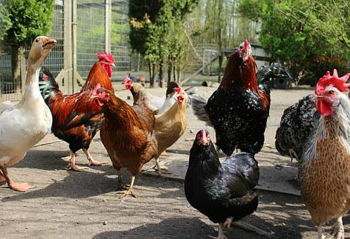Chickens, Farm, Poultry, Farm Animals