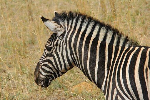 zebra-1221549__340.jpg