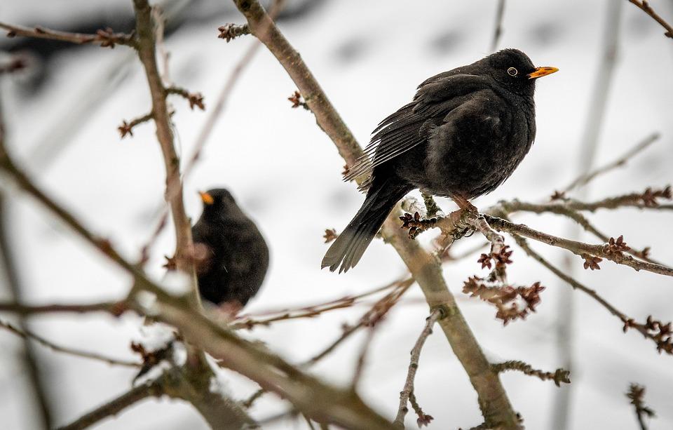kostenloses foto v gel winter amsel vogel garten kostenloses bild auf pixabay 1222648. Black Bedroom Furniture Sets. Home Design Ideas