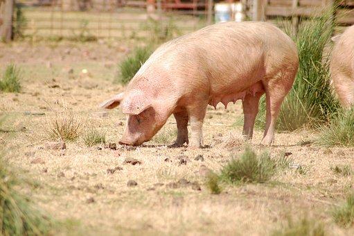 Pork, Farm, Animal, Country, Rural, Pig