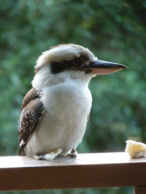 Free Photo Kookaburra Bird Feathers Free Image On