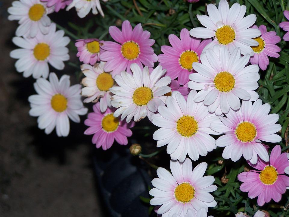 free photo pink daisy, flower bed, flowers  free image on, Natural flower