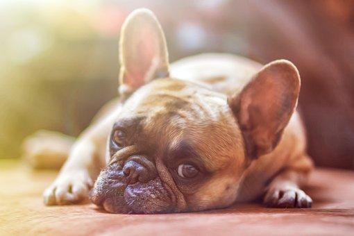 Bulldog, Dog, Pet, Animal, Domestic Dog