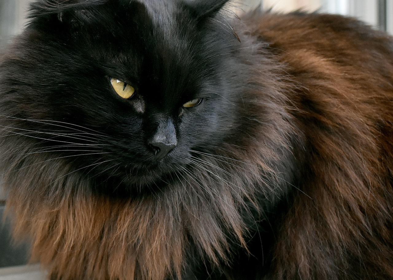 Картинки сибирских котов черного окраса