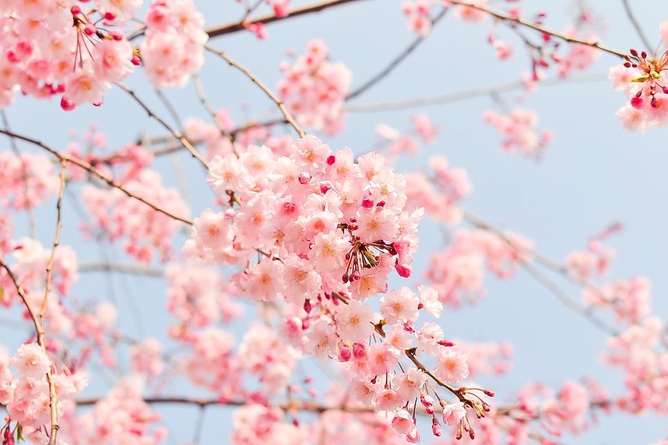 桜の木, ピンク, 花, 桜の花, 開花ツリー, 開花, 春