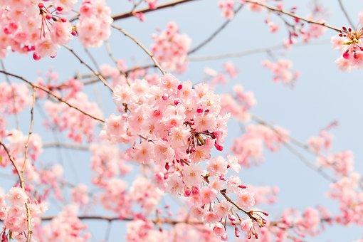Třešňový Květ Strom, Růžový, Květiny