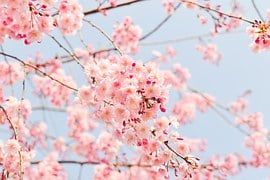 Cherry Tree, Flowering Tree