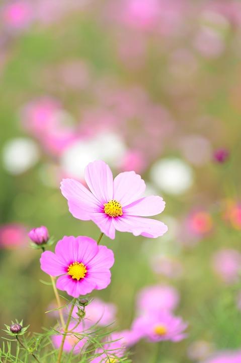 コスモス, 花, 植物, ピンクの花, 花びら, ブルーム, 牧草地, 庭, 自然, 背景