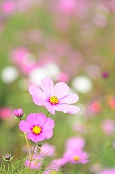Естественный, Завод, Цветок Космоса, Цветки