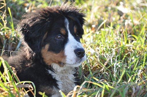 Dog, Bernese Mountain Dog, Big Dog