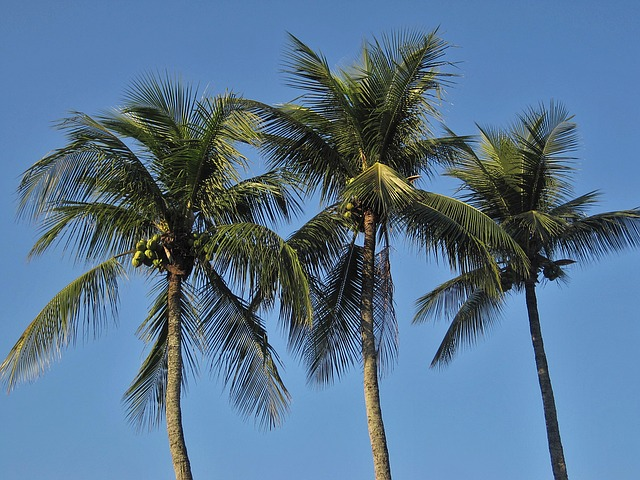 free photo royal palms coconut trees frond free image