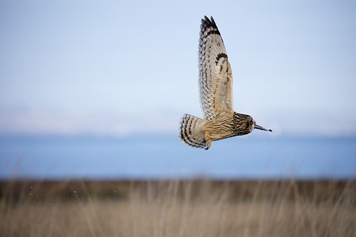 Short Eared Owl, Owl, Bird, Ornithology